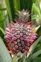 ananas fruit en bloem foto