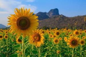 gebied van zonnebloemen, zomer landschap