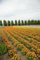 rij van oranje bloem in farm1 foto