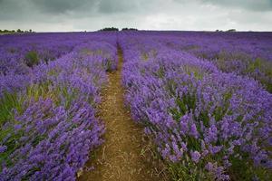 rijen lavendel op een Engelse lavendelboerderij.