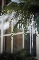 ijspegels op winterplant foto