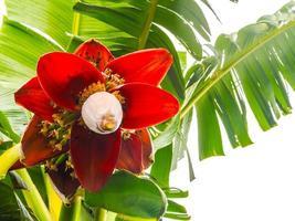 bananen bloem