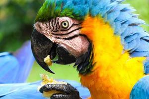 arara comendo banaan foto