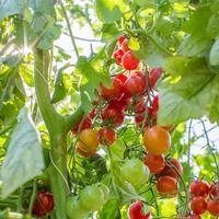 cherrytomaatjes foto