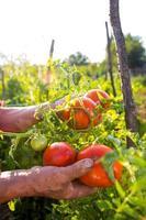 biologische tomaten foto