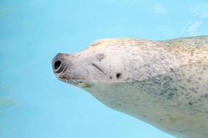 zeeleeuw glimlacht foto