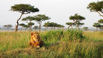 leeuw - savanne, Masai Mara National Reserve, Kenia foto