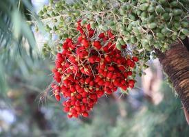 rijpe betelnoot of areca palm op boom foto