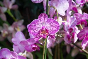 roze orchideeën bij de orchideeënshow, de botanische tuin van New York foto