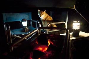 Japanse traditionele hond (Shiba Inu-hond) foto