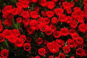 bovenaanzicht van veel rode tulpen