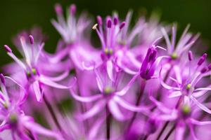 bloeiende sierui (allium)