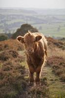 baby highland koe foto