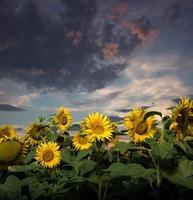 zonnebloemen bij zonsondergang foto