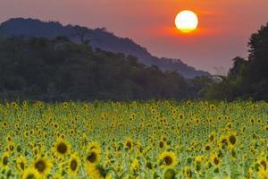 tuin zonnebloemen zonsondergang. foto