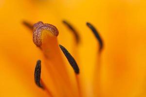 bloei van lelie foto