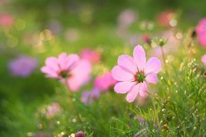 kosmos bloemen foto