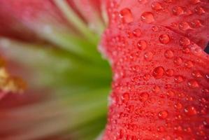 amaryllis bloem foto