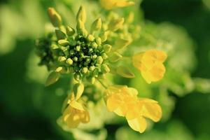 koolzaad bloem foto