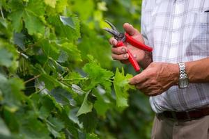 senior wijnbouwer foto