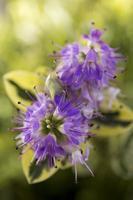 paarse bloemen foto