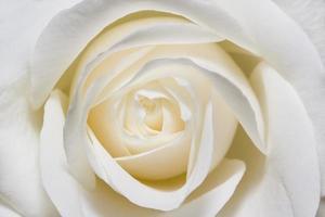 witte roos in macroschaal
