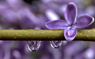 close up lila foto