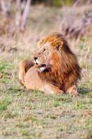 mannelijke leeuw liggend in het gras bij zonsondergang masai mara foto