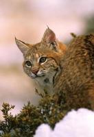 Bobcat close-up foto