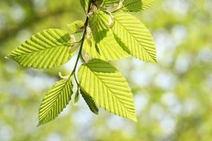 groen blad in het voorjaar foto