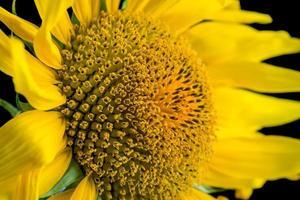 zonnebloem close-up. foto