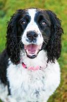de gelukkige Engelse hond van het aanzetsteenspaniel buiten close-up foto