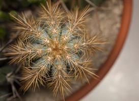 cactus, close-up foto