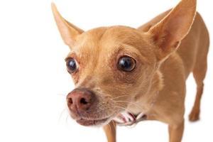 chihuahua close-up foto