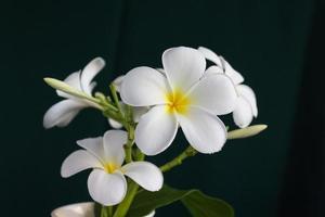 isoleer mooie charmante witte bloemplumeria foto