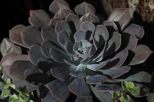 echeveria plant close-up.