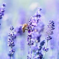 lavendelbloemen en een bij foto