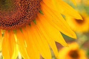 close up van zonnebloem foto