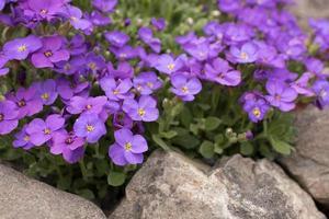 blauwe flox close-up foto