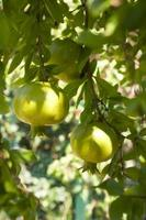 onrijpe granaatappels foto