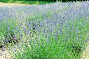 lavendelstruik close-up foto