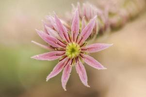 roze bloem, close-up foto