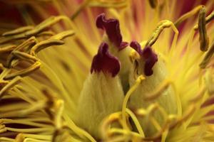 close up van pioenroos foto
