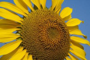 gele zonnebloem close-up foto