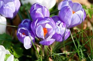 paarse krokus close-up. foto