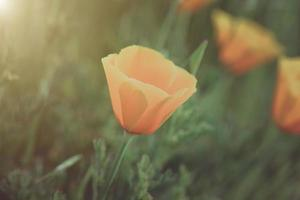 Oranje klaproos close-up foto