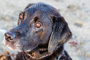 zwarte labrador close-up foto