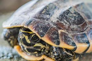 close-up jonge schildpad foto
