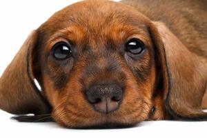 close-up teckel puppy