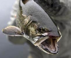 forel close-up foto